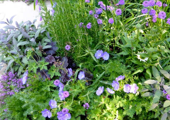 Geraniums and herbs