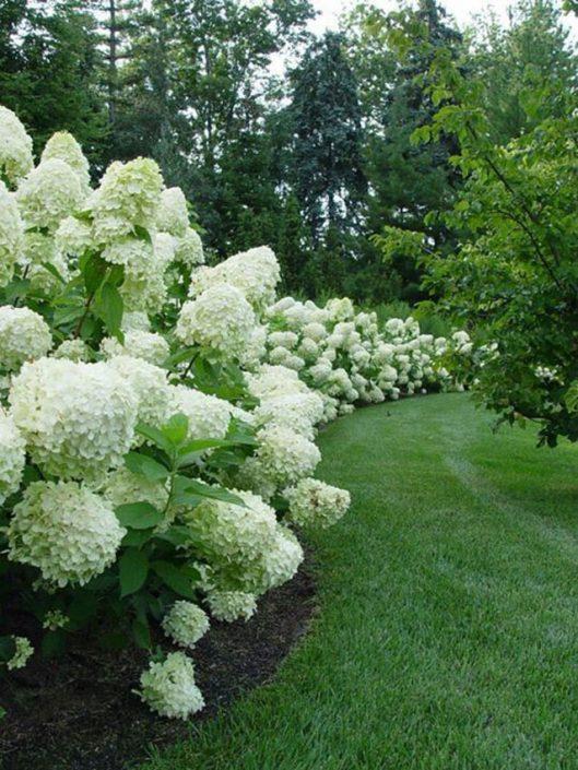Concept image - 'hydrangea hedge'