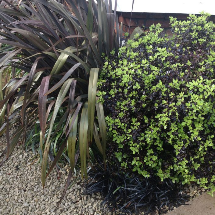 'Black' foliage