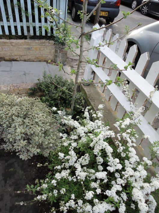 Hawthorn tree and pretty planting