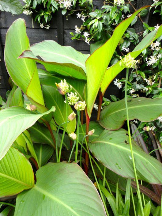 Cannas, agapanthus & jasmin