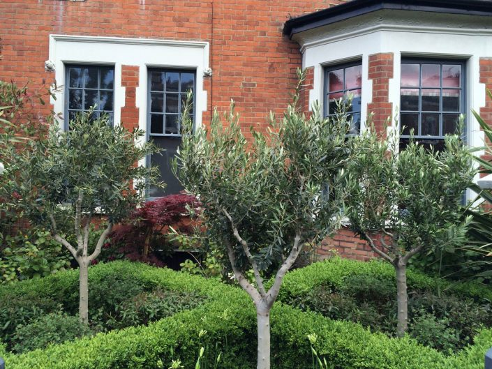 Box parterre and olive trees – Garden Design by Antonia Schofield