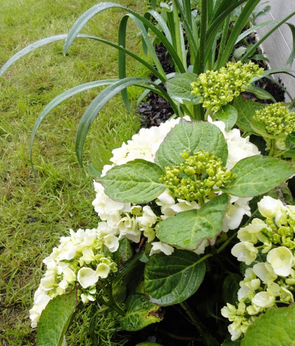 Hydrangeas and african lilies