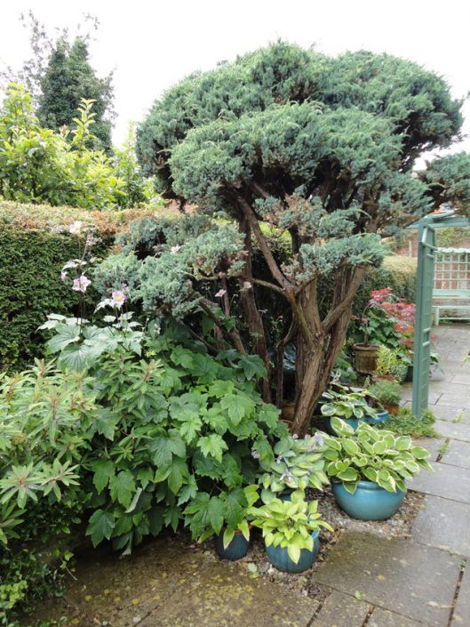 Cloud pruned juniper tree