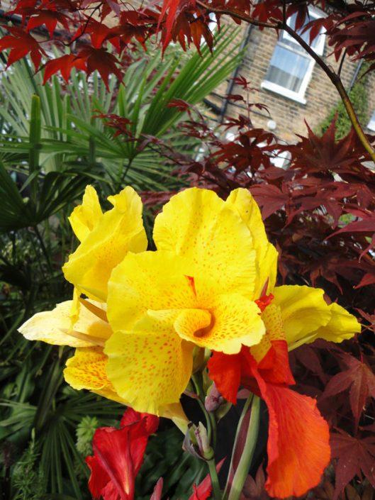 Vivid canna lilies